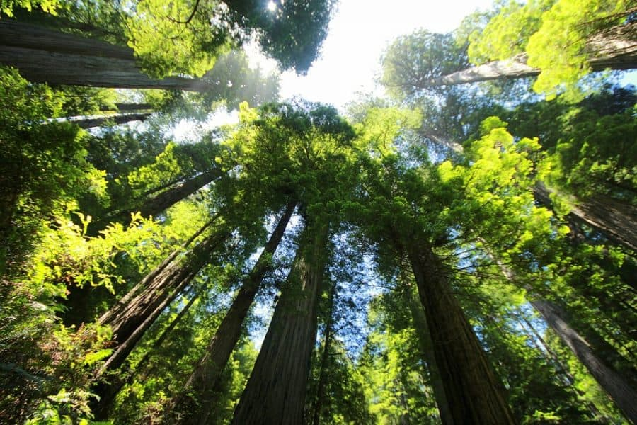 Everything You Need to Know About How Redwoods Grow